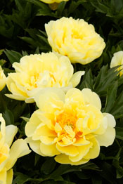 After All These Years Is Bush >> Fall gardening—growing peonies in Southern California | Garden, Home & Party